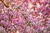 April 30, 2021 - blossoms 11