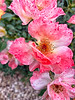 August 25, 2021 - fluffy pink