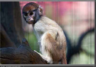 Monkey child at Safari West editing step 4