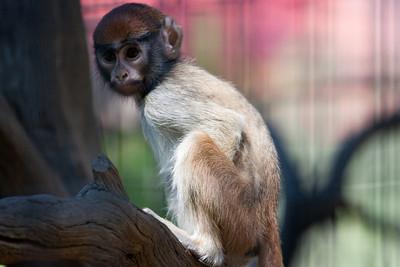 Monkey child at Safari West editing step 2