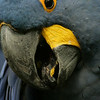May 13, 2009:  Here's a hyacinth macaw from the Oasis in Animal Kingdom.  This photo was taken on my friends camera quite a few months back.