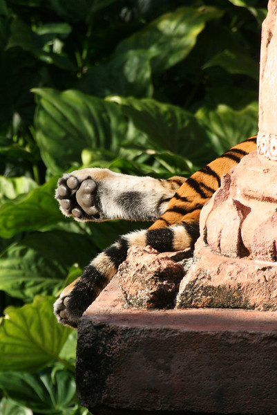 June 10, 2009:  Here's a photo of one of the tigers from the Maharaja Jungle Trek over in Asia at Animal Kingdom.