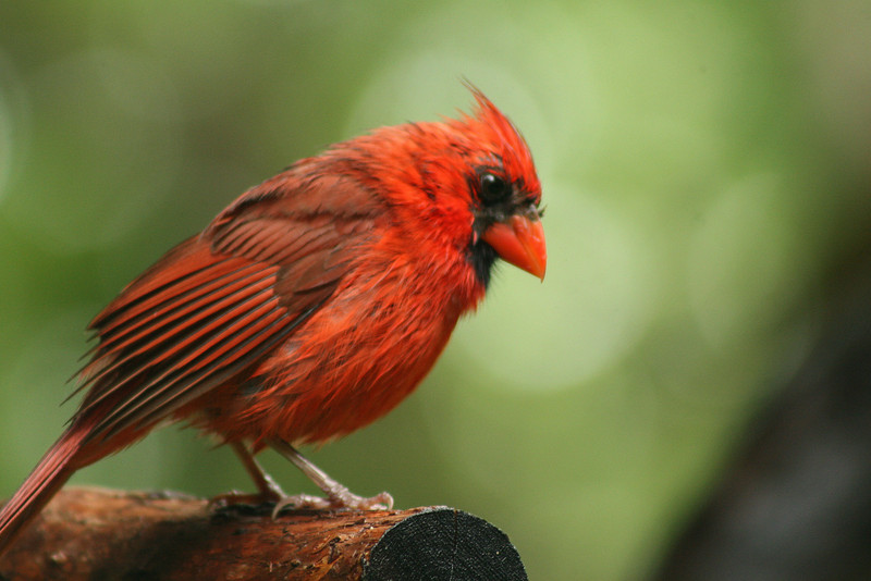 July 7, 2009:  Here's a photo of a cardinal in Animal Kingdom after the rain two weeks ago.