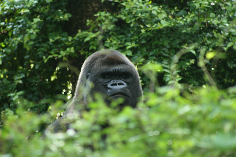 June 30, 2009:  (1 of 2)  Continuing my double-feature week, here's a photo of the same gorilla in Pangani Forest.  The gorillas had caused some trouble first thing in the morning and I was stuck in the Aviary – but I was able to get the incredible photos that I sent yesterday.