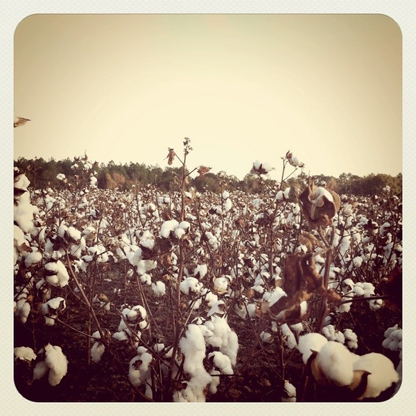 December 3, 2010: I end the week with one more photo from the Instagram iPhone app. Here's a photo from a cotton field in Georgia.