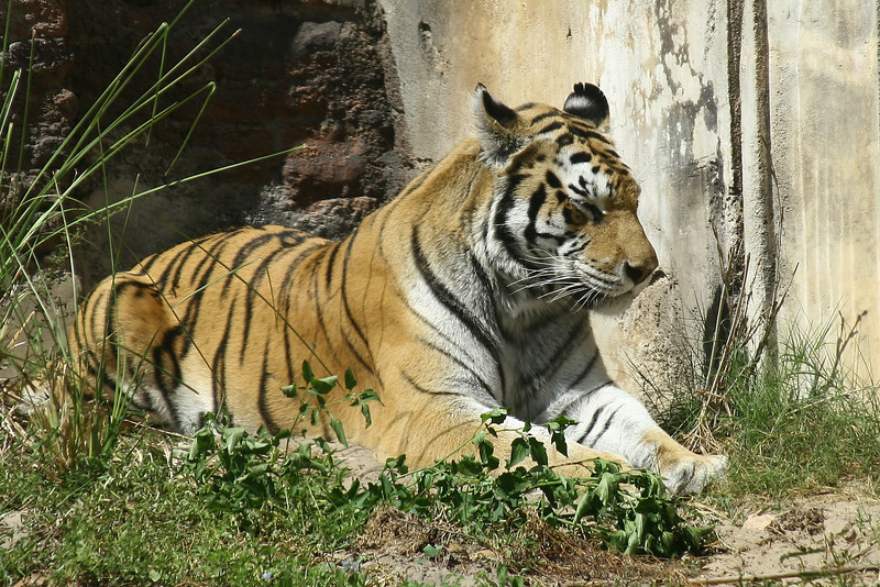 October 9, 2009:  Last weekend, I made my trek back over to Animal Kingdom after not having been there for a few weeks.  I made it over to the Maharajah Jungle Trek, which I haven't been to in an even longer period of time.  But, here's a photo of a tiger taking a cat nap.