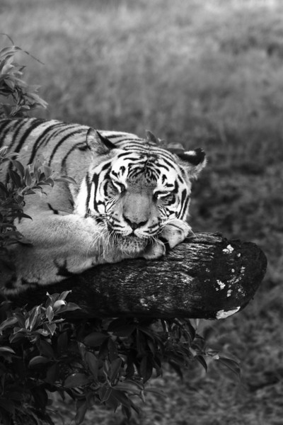 November 9, 2009: Today's photo is from the Maharaja Jungle Trek at Animal Kingdom.  I got quite a few really good tiger photos on Saturday to add to my collection.  I took a few black and whites this time which turned out great!