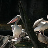 May 12, 2009:  Here's a pair of pelican's from Kilimanjaro Safaris at Animal Kingdom.