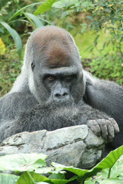 March 6, 2009:  I really think this image sums up this past week.  I captured this Silverback Gorilla in Pangani Forrest at Animal Kingdom just leaning on a rock staring at everyone.  This picture really stands out because of the human emotion portrayed.