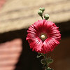 January 20, 2010: Here's a flower that I found in the United Kingdom at Epcot.  I think it's a cosmos.