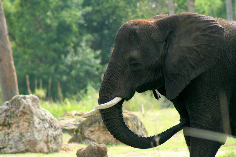 July 2, 2009:  (1 of 2)  Here are two photos of elephants on Kilimanjaro Safaris.
