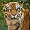 June 12, 2009:  Here's another tiger photo for you from Animal Kingdom.