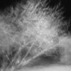 December 29, 2010: I had a lot of fun getting today's shot. This is a long exposure of a fig tree in black and white. I shook the camera during the exposure and the result, to me, looked like a snowy scene. This is SOOC too!