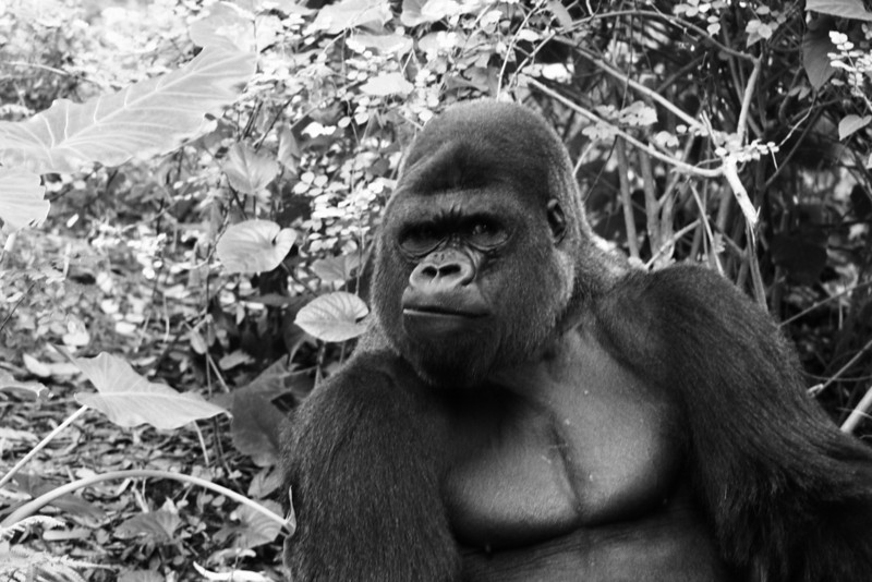 November 10, 2009: Here's another black and white photo – this time it's one of the gorillas from Pangani Forest at Animal Kingdom.