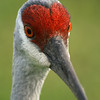October 19, 2009:  Here's a photo that I took this weekend of a Sandhill Crane.