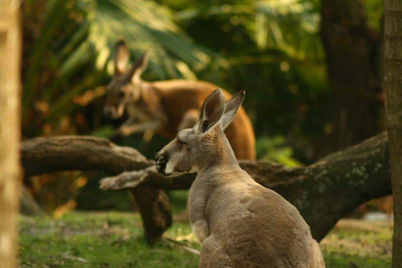 February 22, 2010: Last Wednesday I was able to finally get back to Animal Kingdom to take some photos and just relax, nothing to do! It was a great day! I finally got a decent shot of the kangaroos around the Tree of Life.