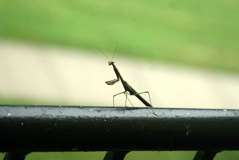 November 15, 2010: This is a photo of a praying mantis that I caught on a rainy day a few days back as I was heading out to work.