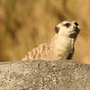 January 13, 2010: I realized that I have not sent any photos of meerkats.  I've taken a few really nice photos of them at Animal Kingdom.  This is one that I took in December 2008.  This meerkat was the acting sentry for the day.