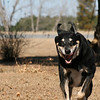 "December 30, 2010: Happy New Year's Eve! OK, so I ditched the ""fine art"" week in turn for a lighter photo. I wanted to end the year on a fun note because 2010 was REALLY good to me! I know my dog Xena is excited for the new year! Here she is bounding away! She almost looks like the Grinch. =)<br /> <br /> Have an Awesome 2011!"