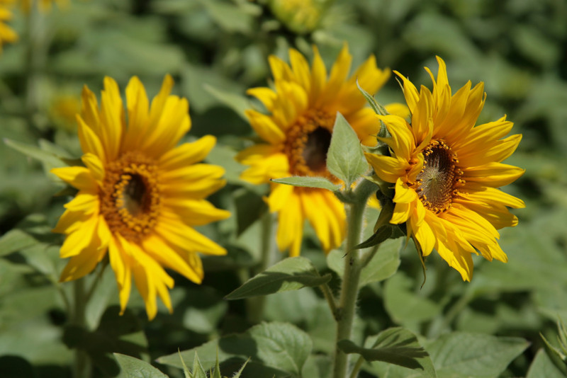 January 19, 2010: Here's a photo of some sunflowers.