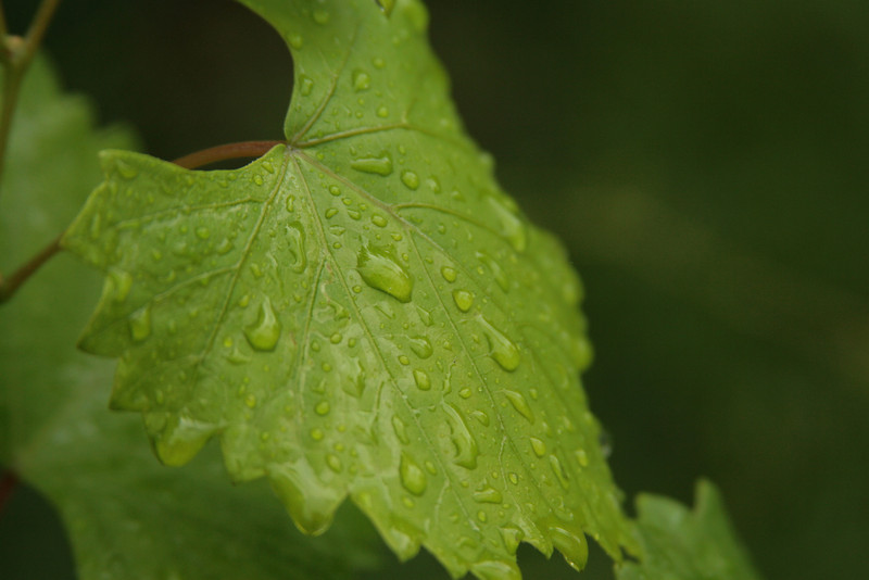 June 4, 2009:  Here's a grape leaf in the rain.  I got this while at my grandparents a few weekends ago.