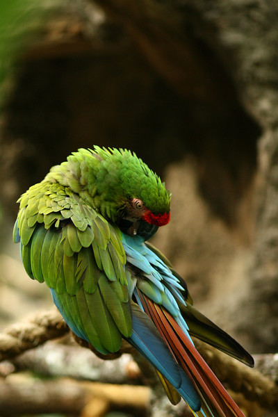 January 4, 2011: It's been quite some time since I've sent out a photo from Animal Kingdom, much less of one of the parrots. So, today, that's exactly what it I'm sending!