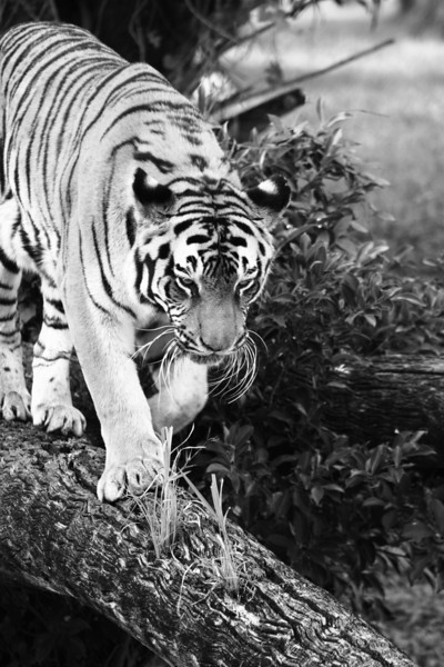November 13, 2009: Here's one last black and white photo and another tiger from the Maharaja Jungle Trek at Animal Kingdom.  I stuck around the tigers for a good 20 minutes and will send a few more photos of them later.