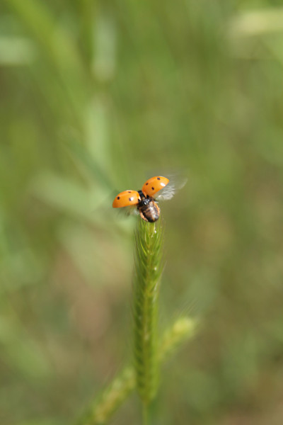 April 14, 2009:  This weekend I stayed with my grandparents in Georgia.  I got this photo from around a pond practically in their backyard.  This ladybug obviously had other things to get to.