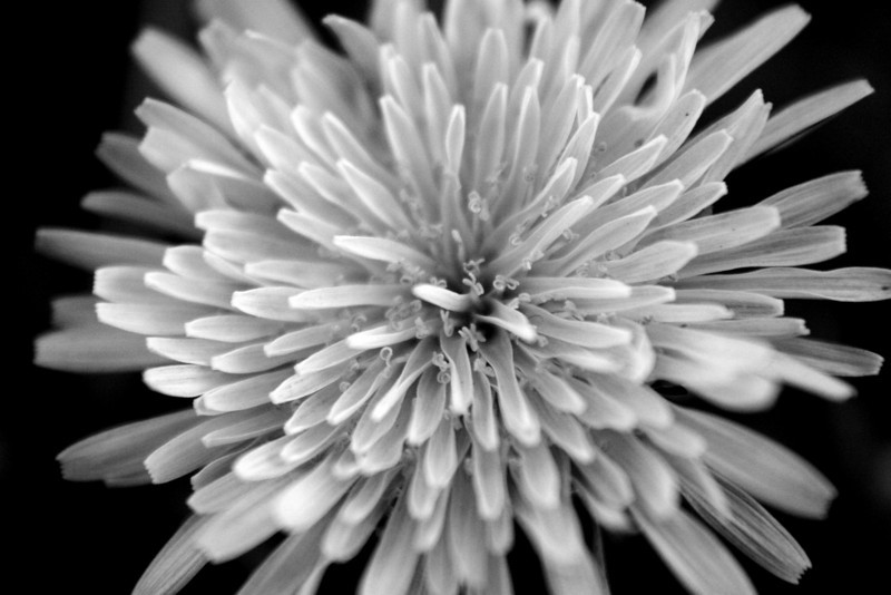 December 28, 2010: Here's another photo that stopped me as I was looking through my shots from my Christmas vacation in Georgia last week. Yesterday's photo was the seeds of a dandelion, today it's a photo of a dandelion flower. Again, this is a macro shot.