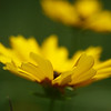 May 21, 2010: I wanted to end this week's photos like I started it – happy and sunny. Here's another photo of a Golden-Wave Coreopsis.