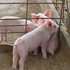 August 21, 2009:  Here's another old photo for good measure.  =)  This photo was taken one summer while I was working for my uncle in Georgia.  We went to see a friend of the family who has always sold them, well…pork.  These little pigs weren't but a few days old when I took this photo.  This has always been one of my favorites.