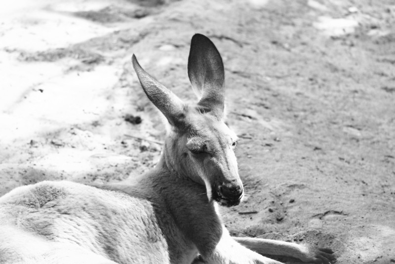September 6, 2010: Today's photo is what I should be doing, lazy-ing around like this kangaroo! But, alas, I'm working.