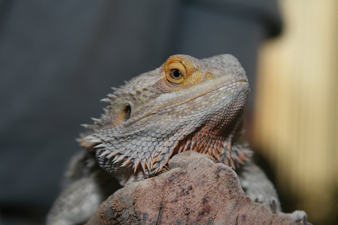 February 11, 2010: Here's a photo of a bearded dragon.