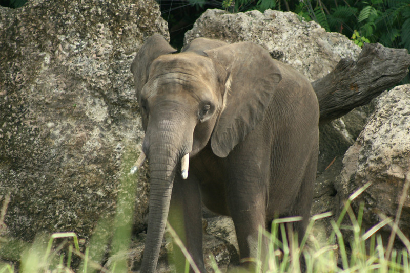 July 2, 2009:  (2 of 2)  Here are two photos of elephants on Kilimanjaro Safaris.