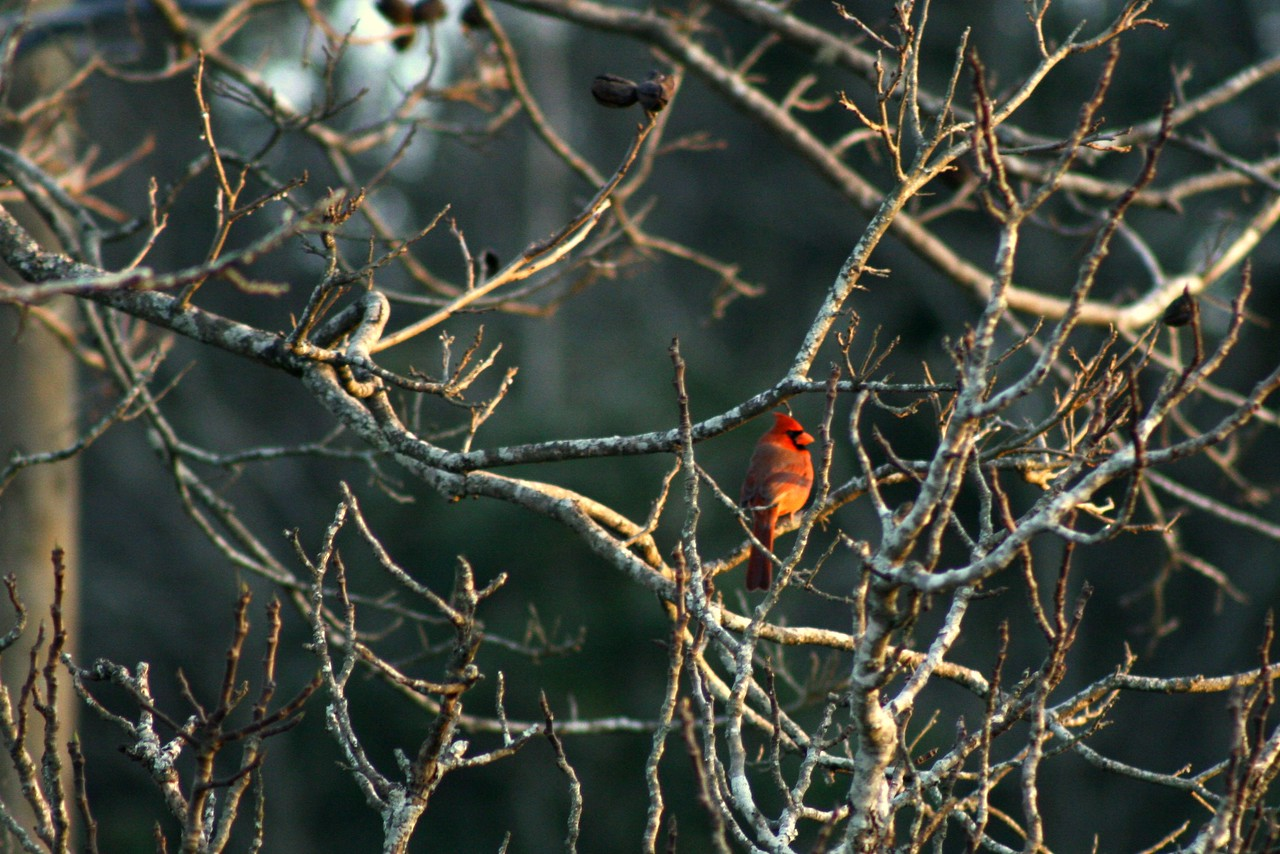 January 7, 2011: Here's a photo of a cardinal looking off into the sunset.