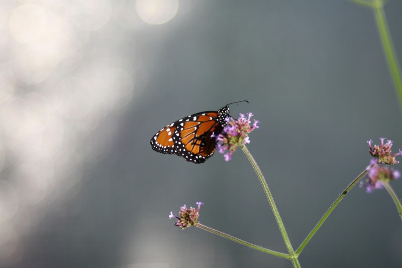 September 22, 2010: Later today marks the start of Fall, but the weather has already been around for the evenings and I couldn't be happier! Here's a photo of a butterfly from earlier this year.