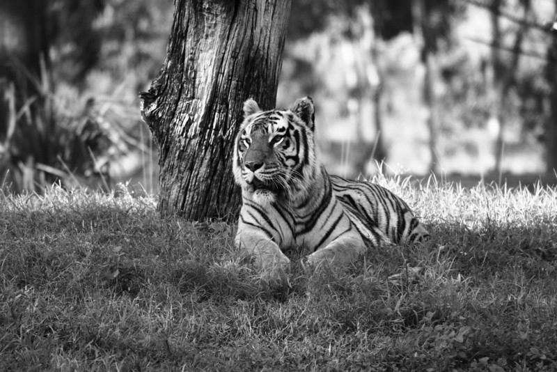 December 7, 2009: I'm taking a short break from the photos from my vacation.  Here's another photo from the set of photos of the tigers of the Maharajah Jungle Trek at Animal Kingdom.