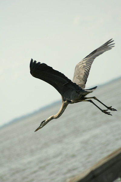 August 5, 2010: Here's a photo of a heron from Lake Apopka a few weeks ago.