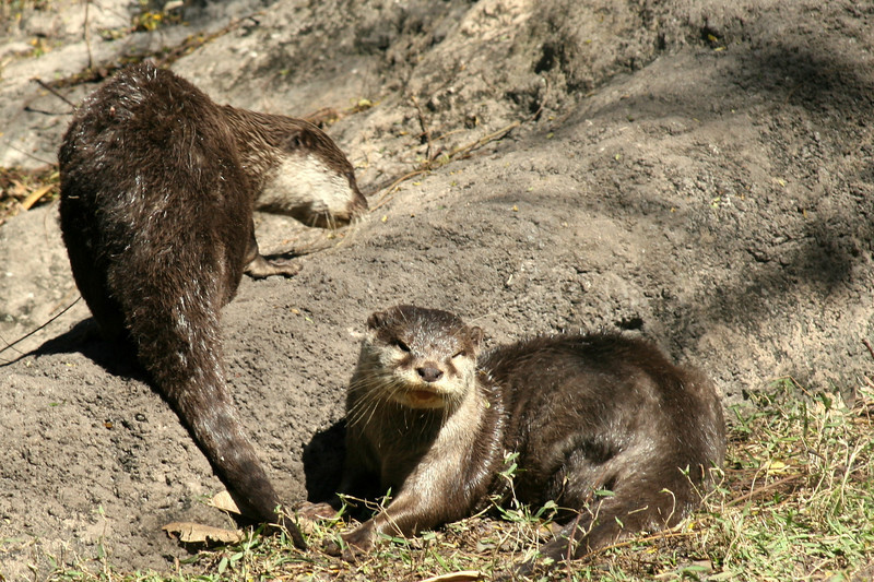 January 28, 2010: Here are two Asian Small-Clawed Otters that can be found around the Tree of Life at Animal Kingdom.