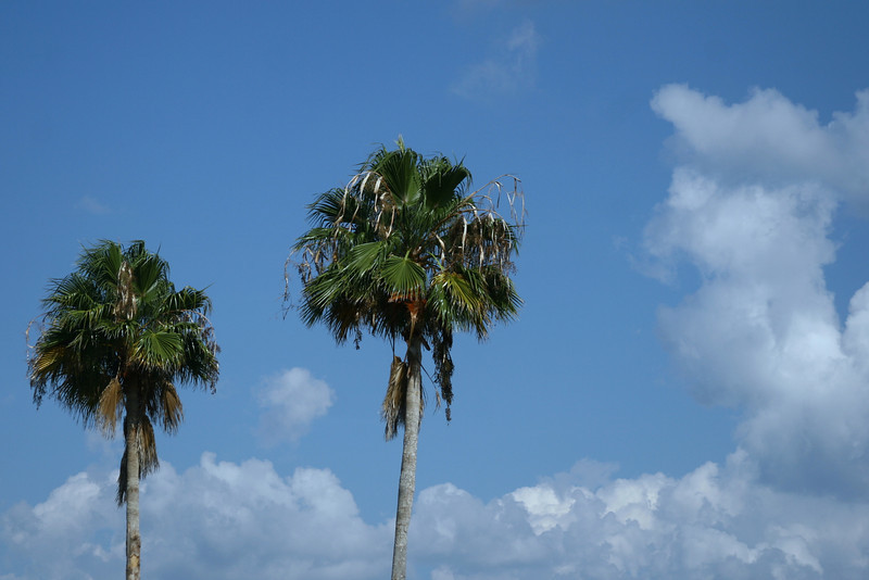 August 6, 2010: Here's a nice little photo of some palm trees.