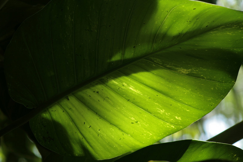 August 19, 2009:  Here's another photo from this weekend at Animal Kingdom.  I like taking photos of leafs like this because of the lighting.
