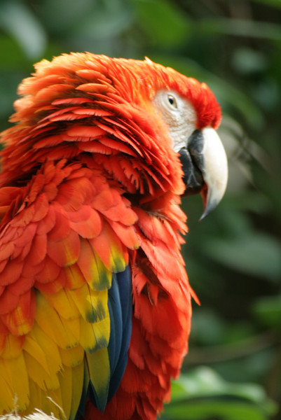 September 23, 2009:  Today's photo returns to The Oasis at Disney's Animal Kingdom.  This is a photo of one of two the scarlet macaws.  Their perch is close to the sidewalk, and it's often easy to get close-up shots of them.