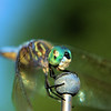 July 21, 2009:  Last Friday, the subject of today's photo was ALL OVER THE PLACE!  I found this dragon fly on my car's antenna and on all the other antennas at my apartment complex when I left for work.  They were swarming everywhere – on the roads, at work, at the grocery store.  Anyway, they're still fun to take pictures of.