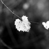 December 14, 2010: Here's a black and white photo of some of the last remaining grape leaves on a vine.