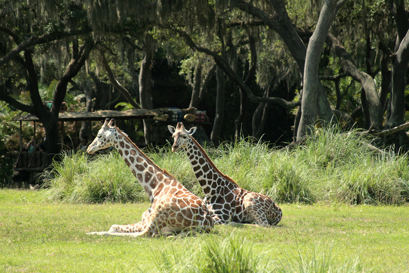 May 7, 2009:  Here's a photo from Kilimanjaro Safaris.  Here you see two of the younger giraffes of the group sitting in the middle of the savanna.  On this particular day, the giraffes were dotted all over, some far away, and some up close.