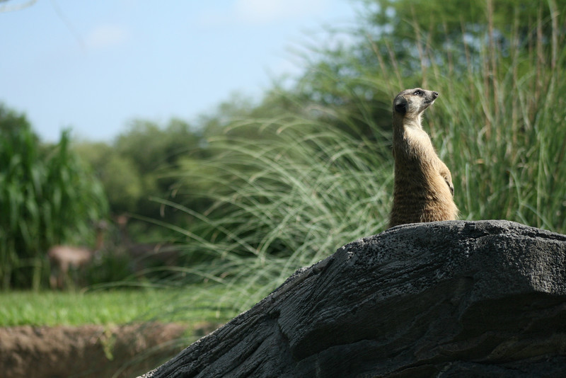 January 14, 2010:  Here's another meerkat photo for you.