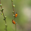 January 21, 2010: Here's a photo of some lady bugs that I took last July.