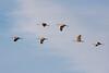 Feb 5: Sandhill Cranes, Cosumnes River Preserve.