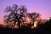 Feb 4: Bare trees at sunset, Cosumnes River Preserve.