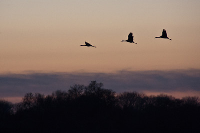 Feb 5: Sandhill cranes coming in for a landing.
